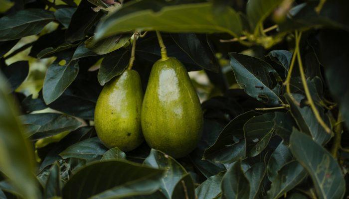 Chá de folha de abacate contra incicações